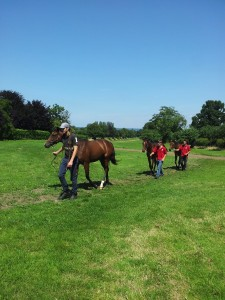 Yearlings coming in from exercise.